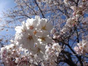 今年も桜がきれいに咲きました!!